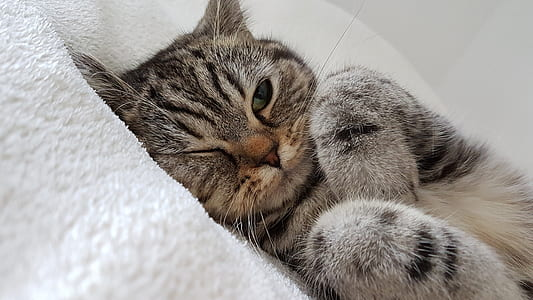 short-furred gray cat on white textile