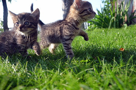 two brown kittens on grassy ground