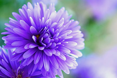 close up photo of purple broad petaled flower