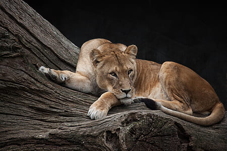 Lioness lying on brown tree trunk