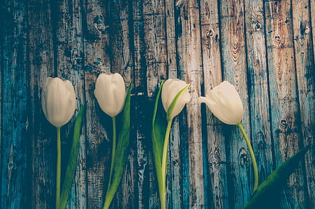 four white tulip flowers