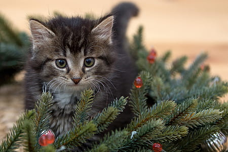 kitten beside Christmas tree