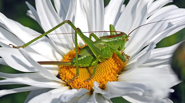 grasshopper on white daisy