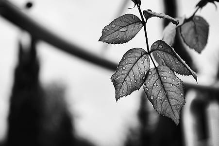 grayscale photo of leave