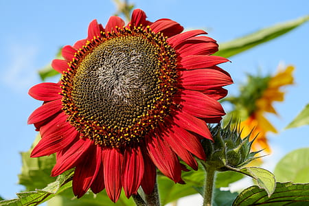 red Sunflower in close up photography