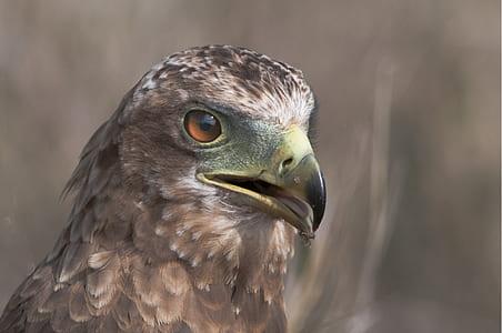 Closeup Photo of Falcon