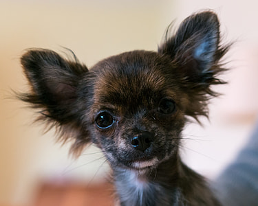 black and brown long-haired chihuahua