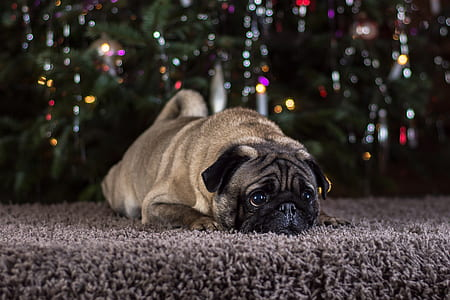 fawn pug laying on gray area rug