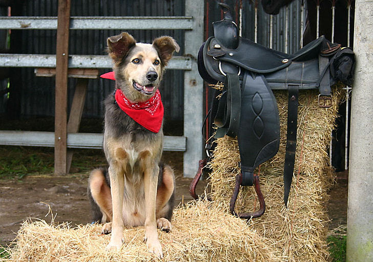 brown dog wearing red kerchief standing on hay beside horse saddle