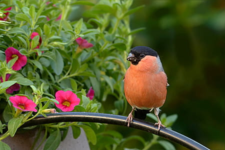 bullfinch perching on gray metal handle