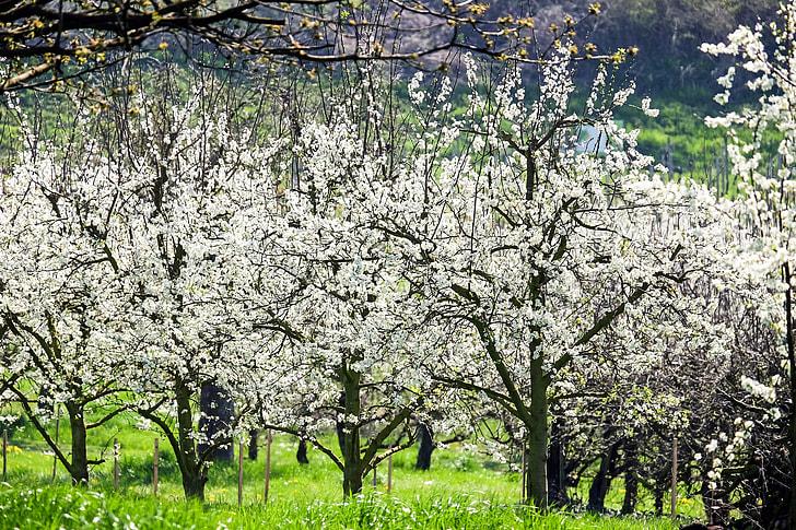 white flowering tree on green grass field