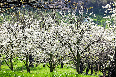 white flowering tree on green grass field