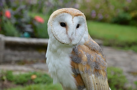brown and white barn owl
