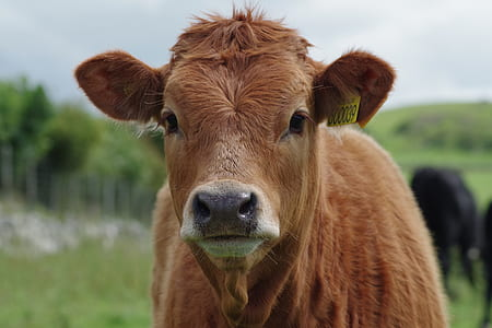 brown cattle in selective focus photography