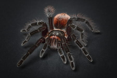 black and red tarantula in closeup photography