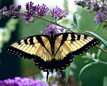 Eastern tiger swallowtail butterfly perched on purple petaled flower closeup photography