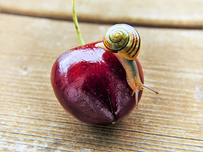 snail on red fruit