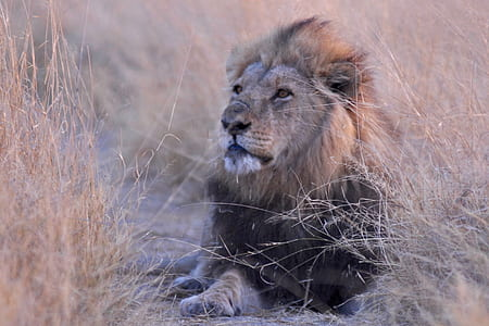 male lion lying on brown grass field