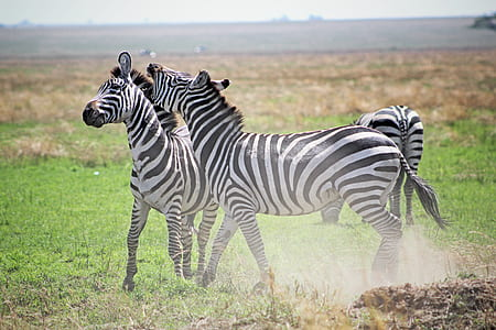 three zebras on green grass field at daytime