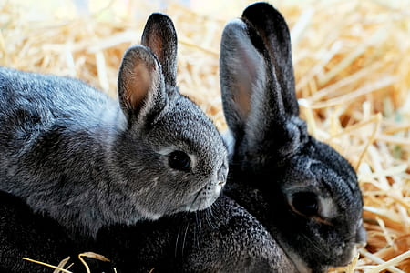 gray and black rabbits