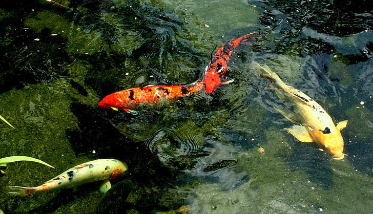 three fish in water