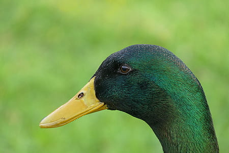 green head duck