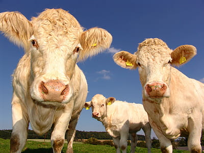 photography of three white cattles under white cloud blue skies