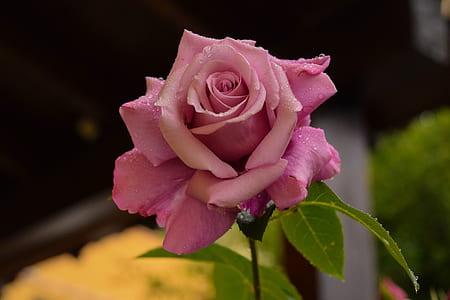 pink rose bloom during daytime