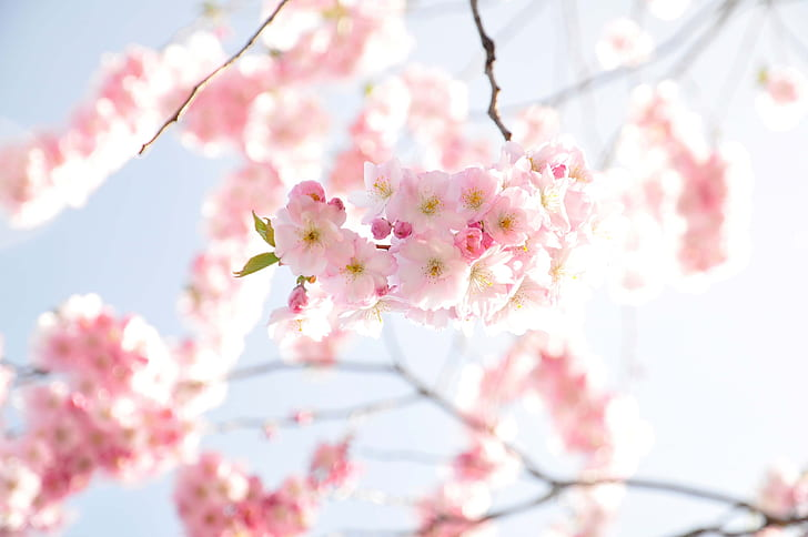 shallow focus photography of pink cherry blossom