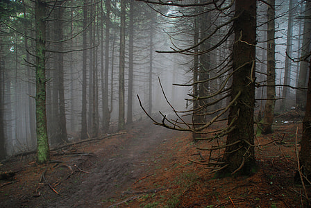 forest surrounded by mist