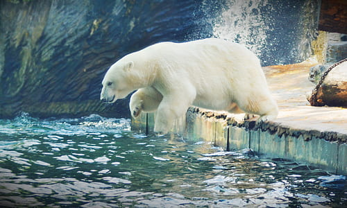 polar bear submerging to water