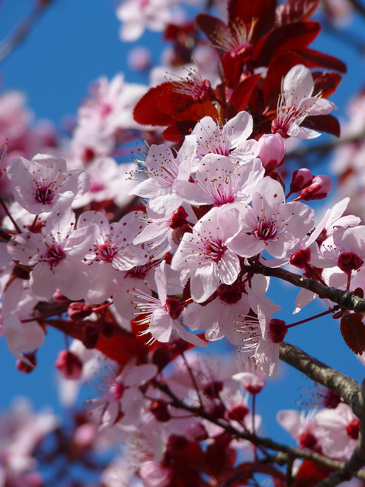 selective focus photography of pink cherryblossoms flowers