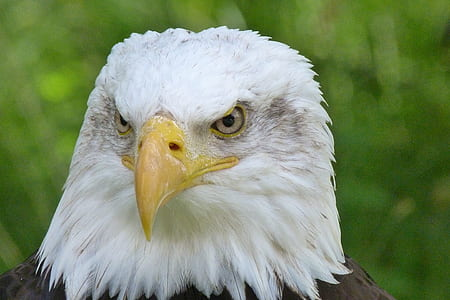 American bald eagle on green background