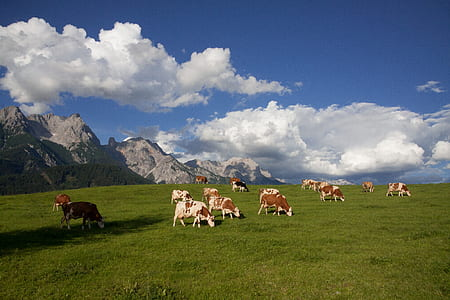 herd of cows during daytime