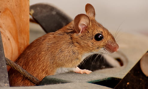 brown mouse in closeup photo