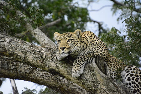 black and yellow leopard on tree