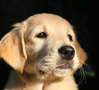 light golden retriever puppy