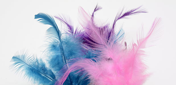 photograph of pink, purple, and blue feather