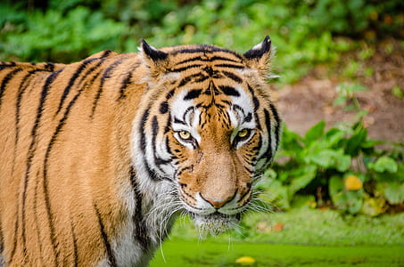 wildlife photography of orange and white tiger
