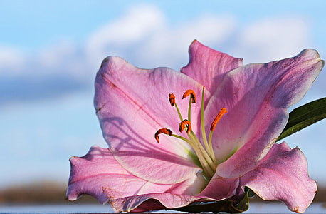 closeup photography of pink stargazer lily