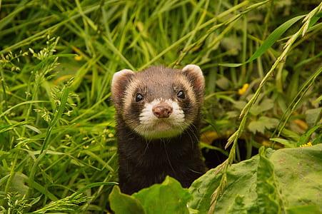 black Ferret on green grasses