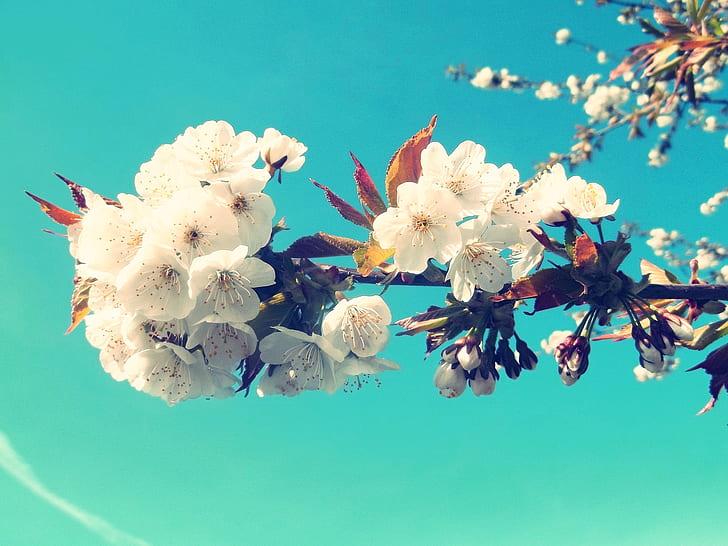 white cherry blossom flowers