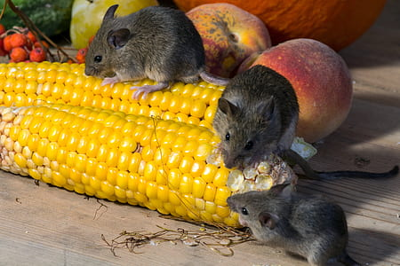 three black rats on yellow cord