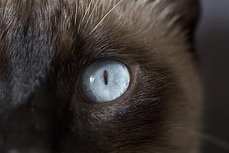 closeup photo of short-fur gray cat eye