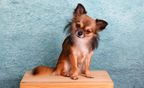 adult long-haired sable Chihuahua