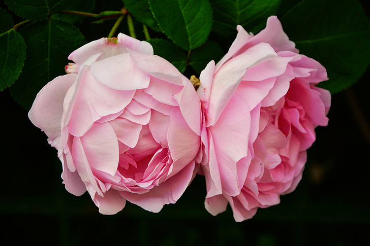 two pink roses closeup photography
