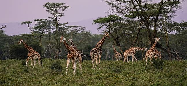 group of giraffe during daytime