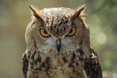 brown owl closeup photography