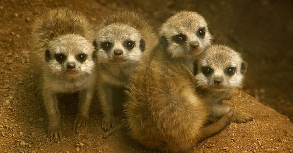 four brown meerkats