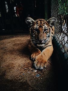 photo of tiger cub